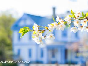 春の中島公園 Nakajima Park in spring.