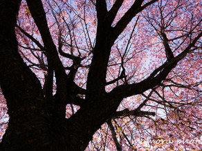 春爛漫 Spring full bloom.