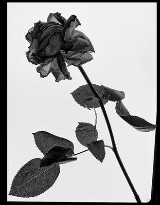 Palani Mohan | Red Rose