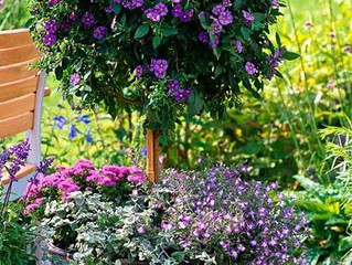 AKCIA - 20% ZĽAVA na Solanum - enciánový stromček!