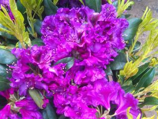 Nová várka krásnych rododendrónov