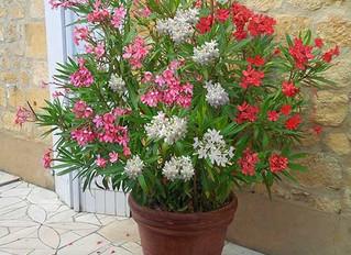 Ako zimovať rastliny pestované v kvetináči.