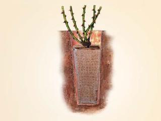 Ako pestovať ruže KORDES - Plant-o-Fix systém.