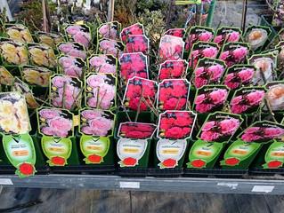 Naše ruže kvitnú o 14 dní skôr ako iné