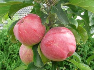 6 tipov na chutné a odolné odrody stĺpovitých jabloní