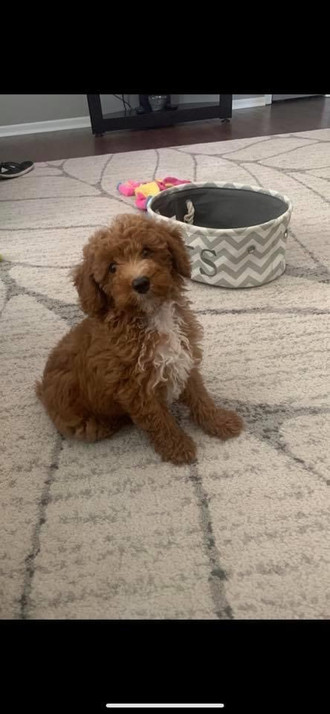 Our new male Poodle Charlie