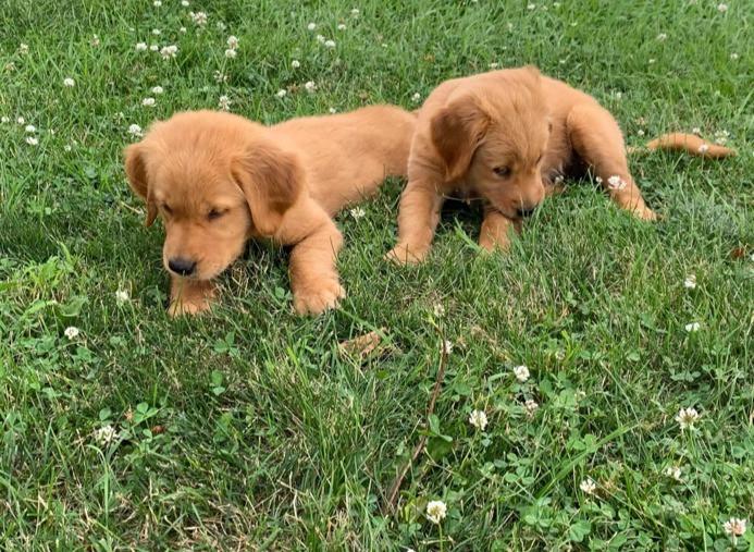 Portland and Shea as pups