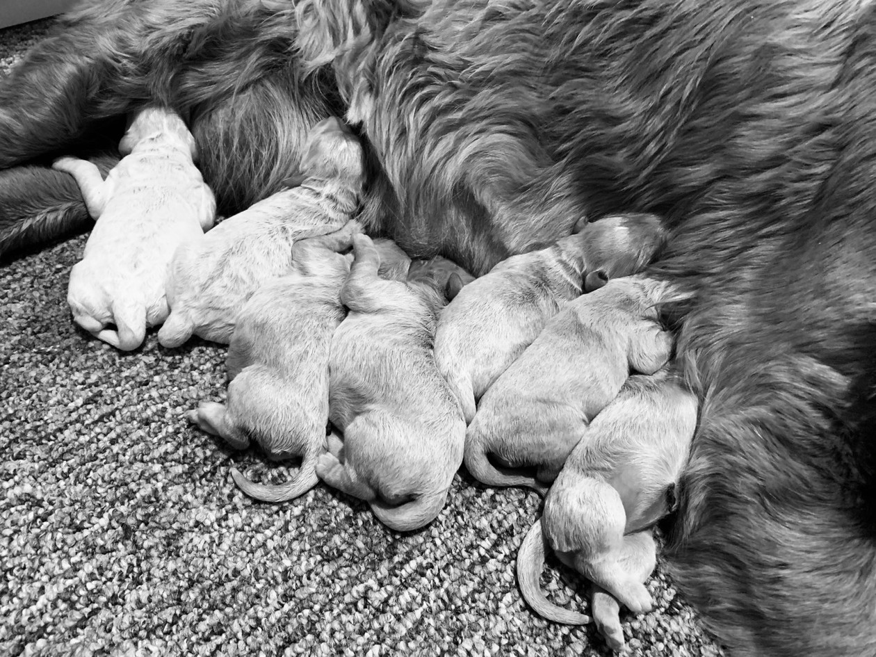 Saylor's one week old pups