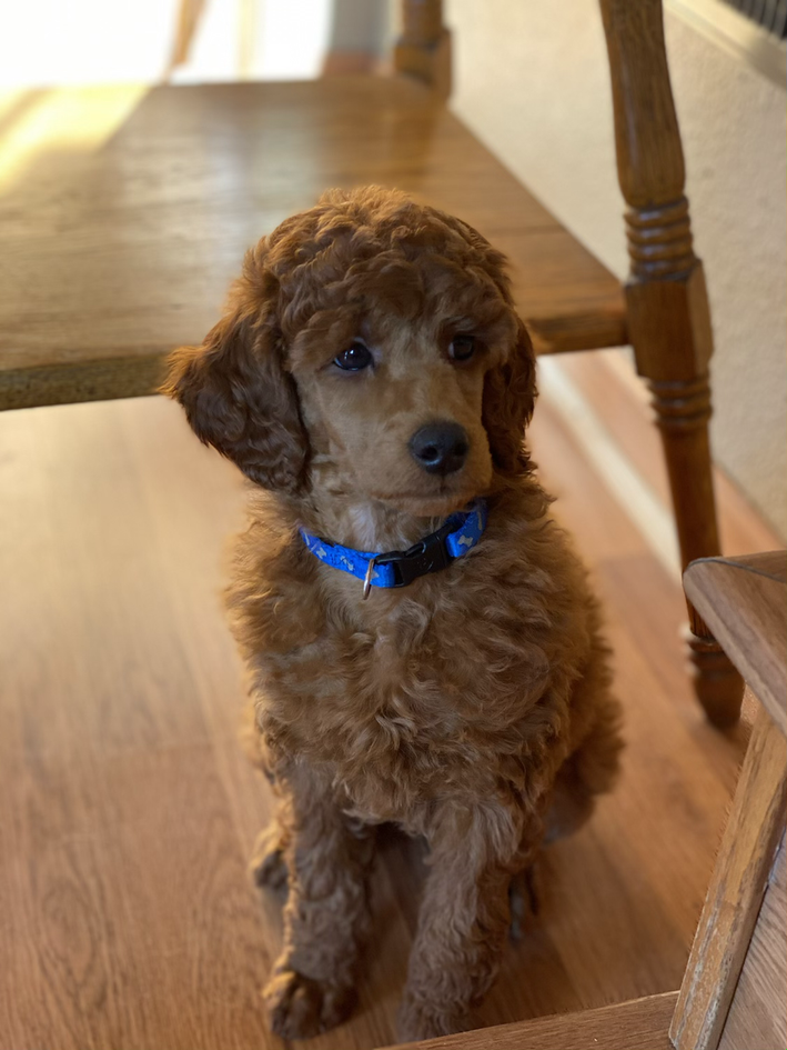 Meet our new Poodle Seb!