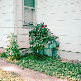 Rose Bush on May