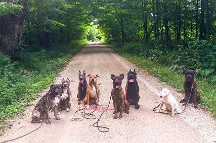 dog training, working dogs, k9 balance blue mountain, cao fila de sao miguel, bull terrier, mastiff, pit bull, azores cattle dog