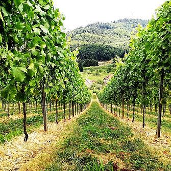 Gengenbach Allemagne forêt noire vignes