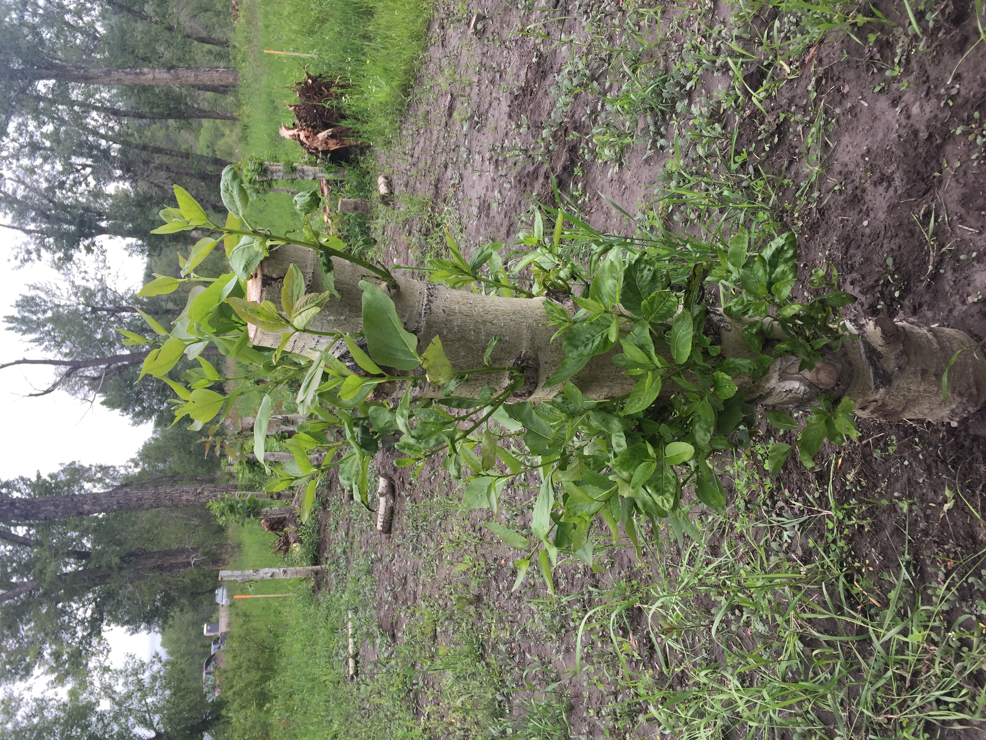 New Growth on Balsam Poplar after Transplanting of Live Stems