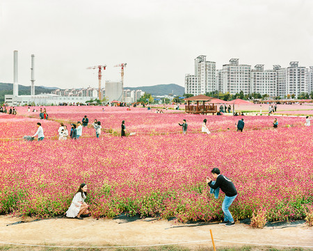 Globe Amaranth Festival, Yangju, September 2018