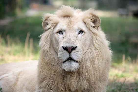 white lion S.jpg