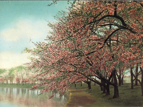 Wallace Nutting Cherry Trees Notecard
