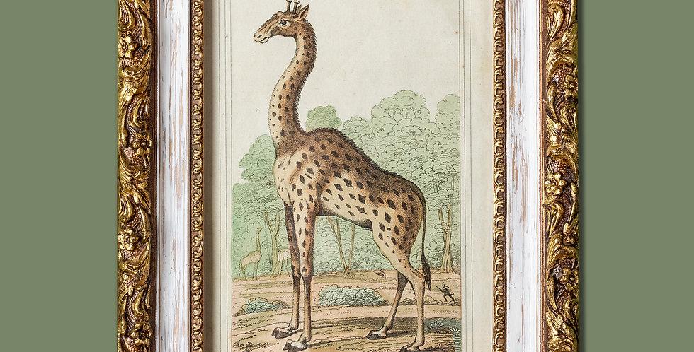 Grabado. The Camelopard. 1824