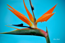 Bird of Paradise by my pool