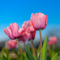 Tulips in Texas