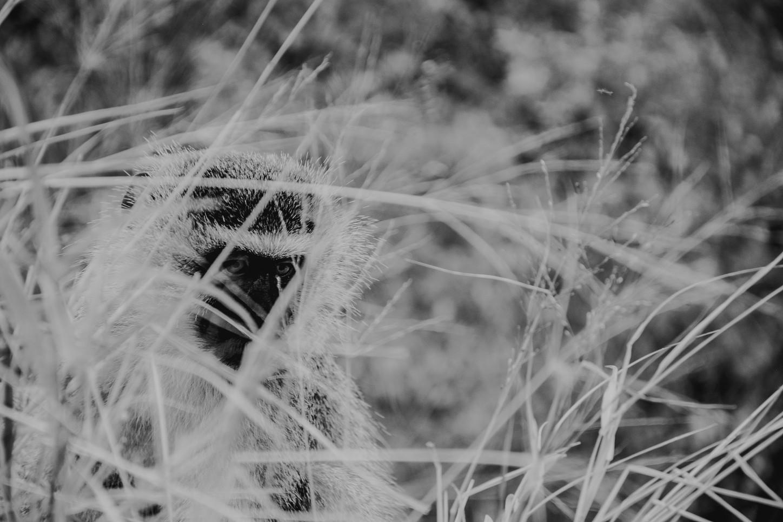 Hiding Monkey, Black & White