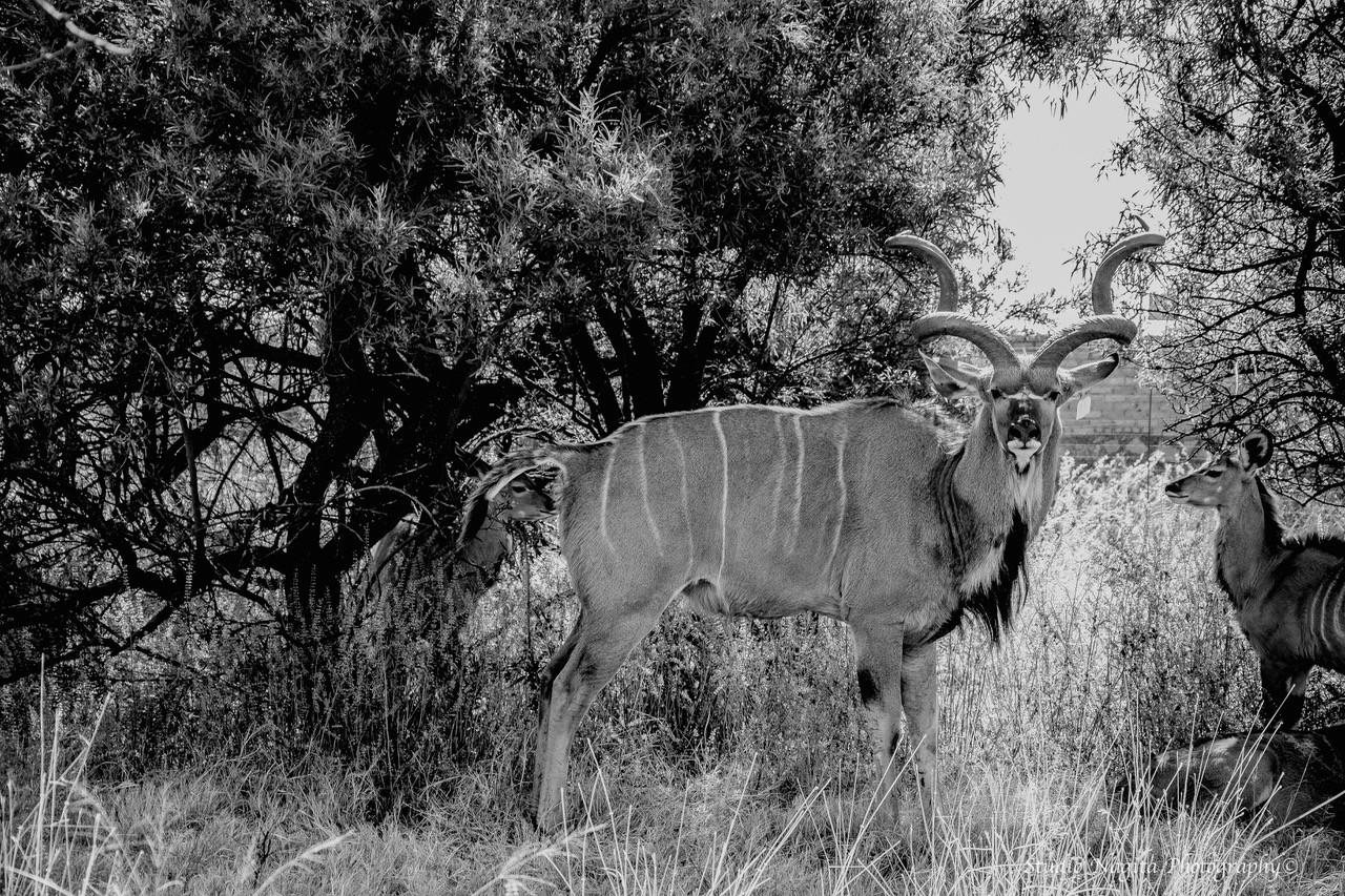 Kudu, Black & White