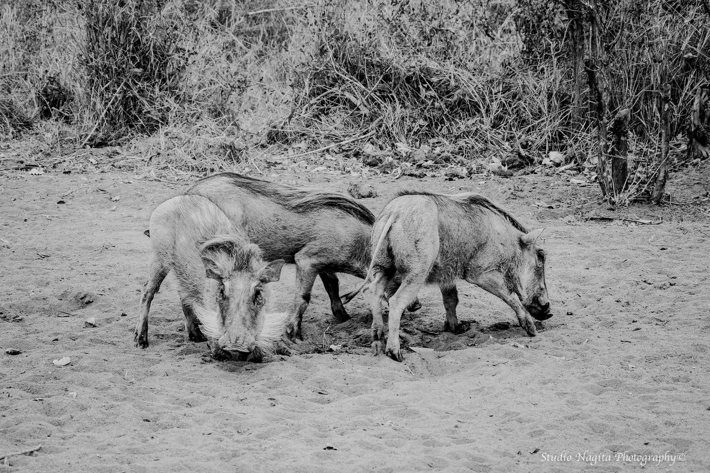 Warthogs, Black & White