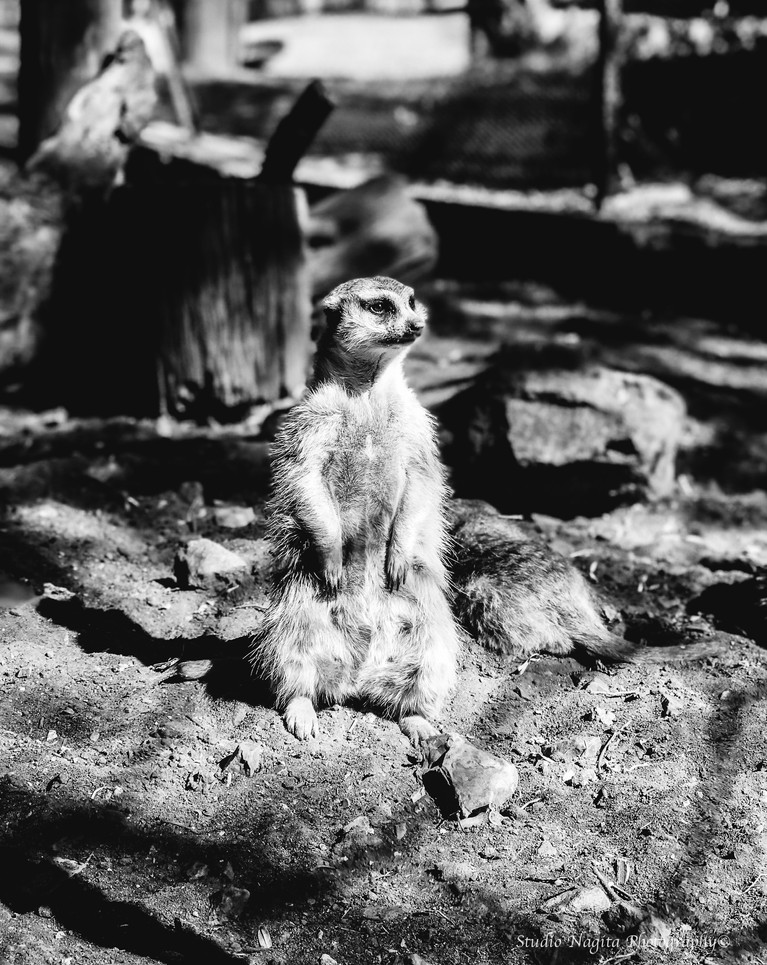 Meerkat Black & White
