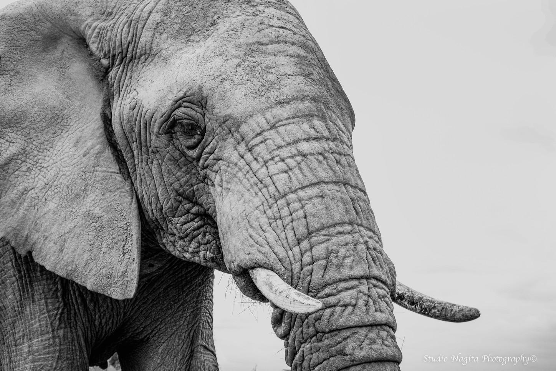 Elephant Profile, Black & White