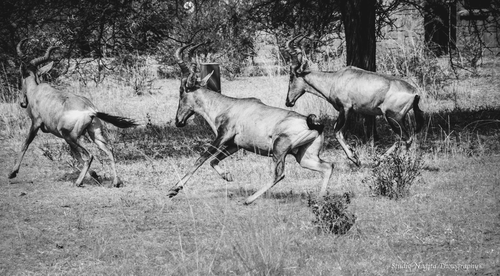 Running Antelopes, Black & White