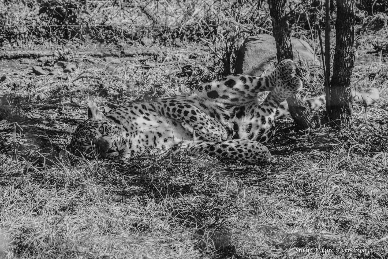 Black & White Cheetah