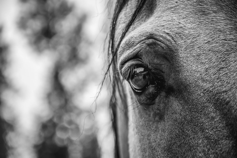 Horse Portrait Black & White