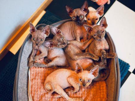 Six chatons Devon rex sont nés le 23.09.2020