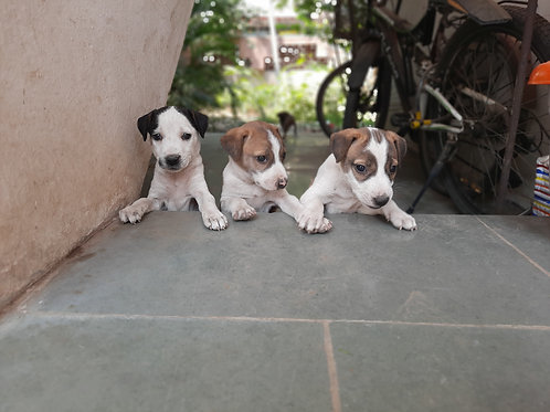 Four puppies for adoption