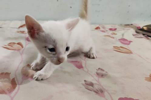 3 white kitten swipe 👉