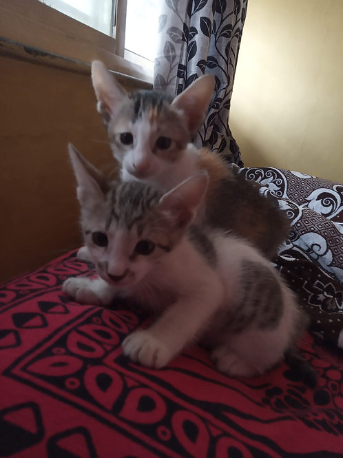 Two kittens available for adoption