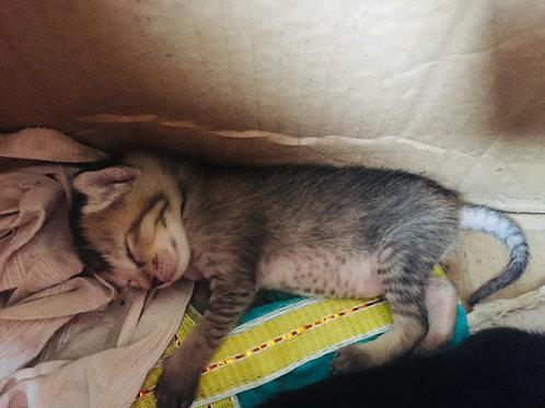 Kittens for adoption ranchi