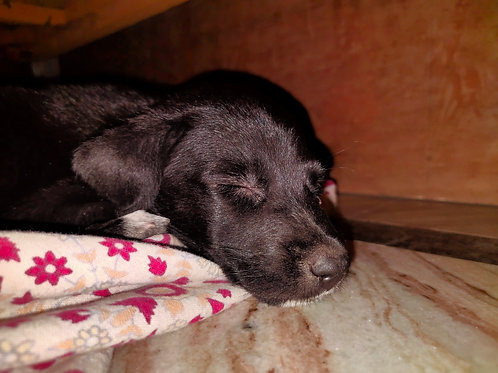 Black puppy for Adoption