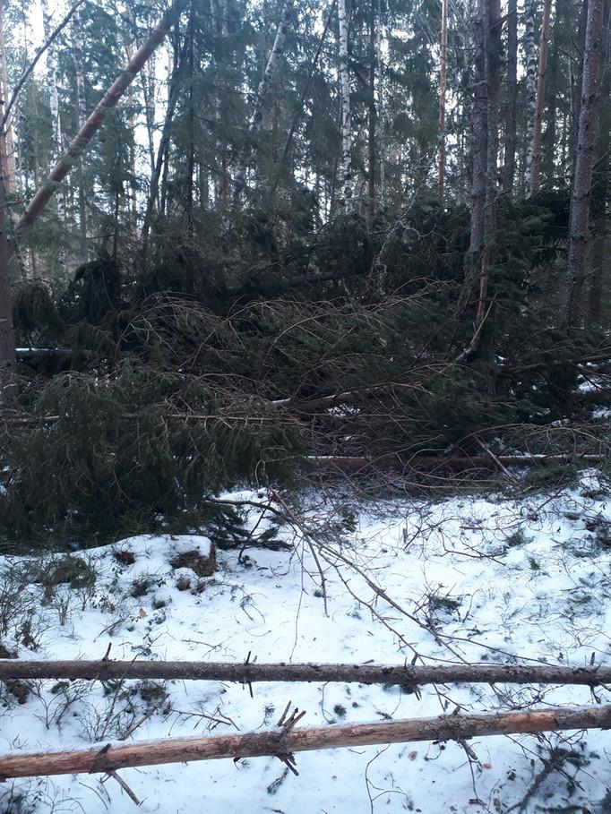 Mängder av vindfall i skogen