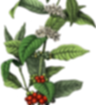 Coffee Cherry Cascara