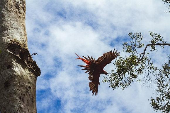 Arara Vermelha levantando voo