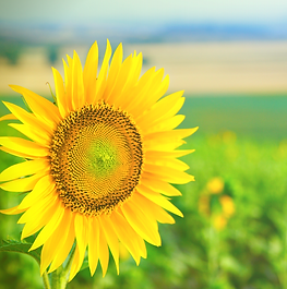 Sunflower Field.png
