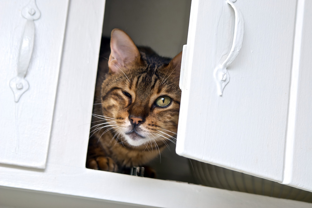 animal communication with a cat peeking out of a kitchen cabinet
