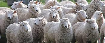 パタゴニアの羊