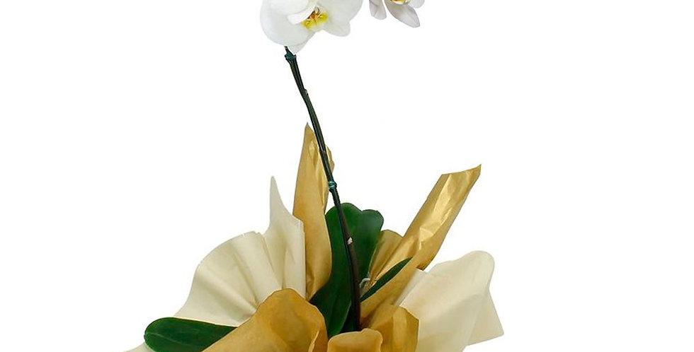 Orquidea branca phaleanopses