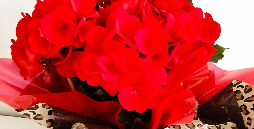 Begonia em vaso