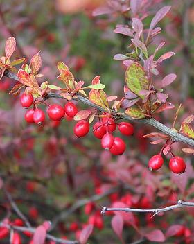 barberry.jpg