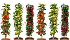 Set of 3 or 6 Pillar Fruit Trees - Apple, Cherry and Pear
