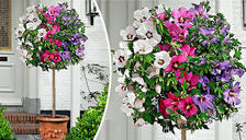Extra Large Tri-Colour Hibiscus Tree - Bare Root Plant