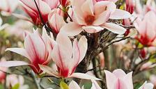 Large Magnolia Superba Tree