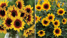 Sunflower SunBelievable 'Brown Eyed Girl' Potted Plant - 1, 2 or 3